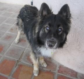 Adopt Guy, a lovely 12y 6m Alaskan Husky / Mix available for adoption at Petango.com.