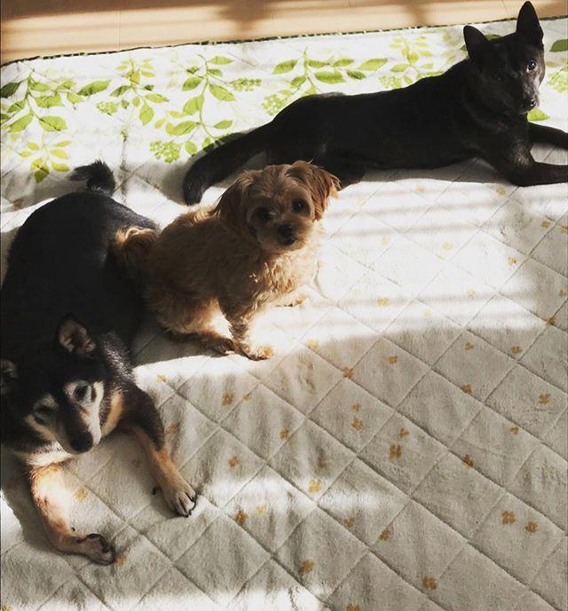 今朝の様子。みんなで日向ぼっこだよ〜〜♪(๑ᴖ◡ᴖ๑)♪#shiba#shibainu #kaiken #mix#柴犬#黒柴#黒柴犬#甲斐犬 #ミックス#マルチーズ#ダックス#プードル#もも#ナナ#マリン#日向#愛犬#癒し#多頭飼い
