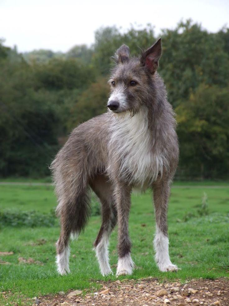 Aura, 4 year old 1/2 Greyhound, 1/2 Beardie.