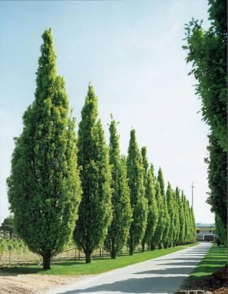 Pyramidal English Oak - Green Tree Nursery