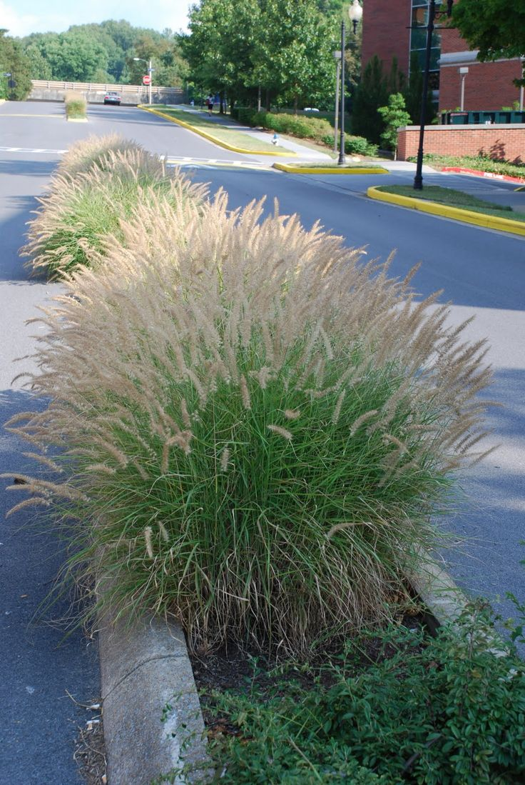 asian fountain grass cultivar 39 karley rose 39 pennisetum orientale is a four season eye catcher. Black Bedroom Furniture Sets. Home Design Ideas
