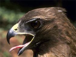 Хищные птицы в домашних условиях