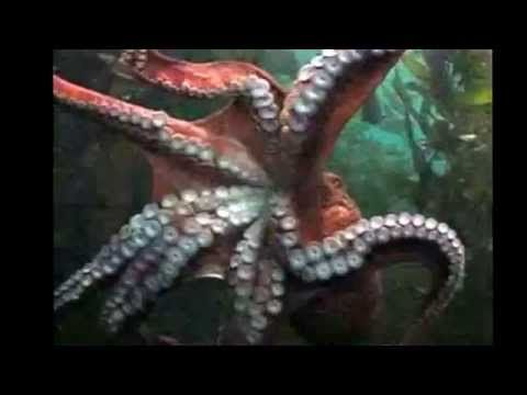 Octopus Facts: 14 facts about Octopus - YouTube