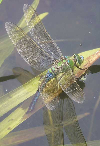 Emperor dragonfly Anax imperator female egg laying in Wildlife garden pond