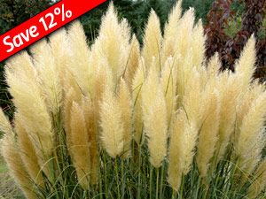 13 best drought tolerantwaterwise ornamental grasses images on dwarf pampas grass is extra hardy heavy flowering ornamental grass drought tolerant mightylinksfo Choice Image
