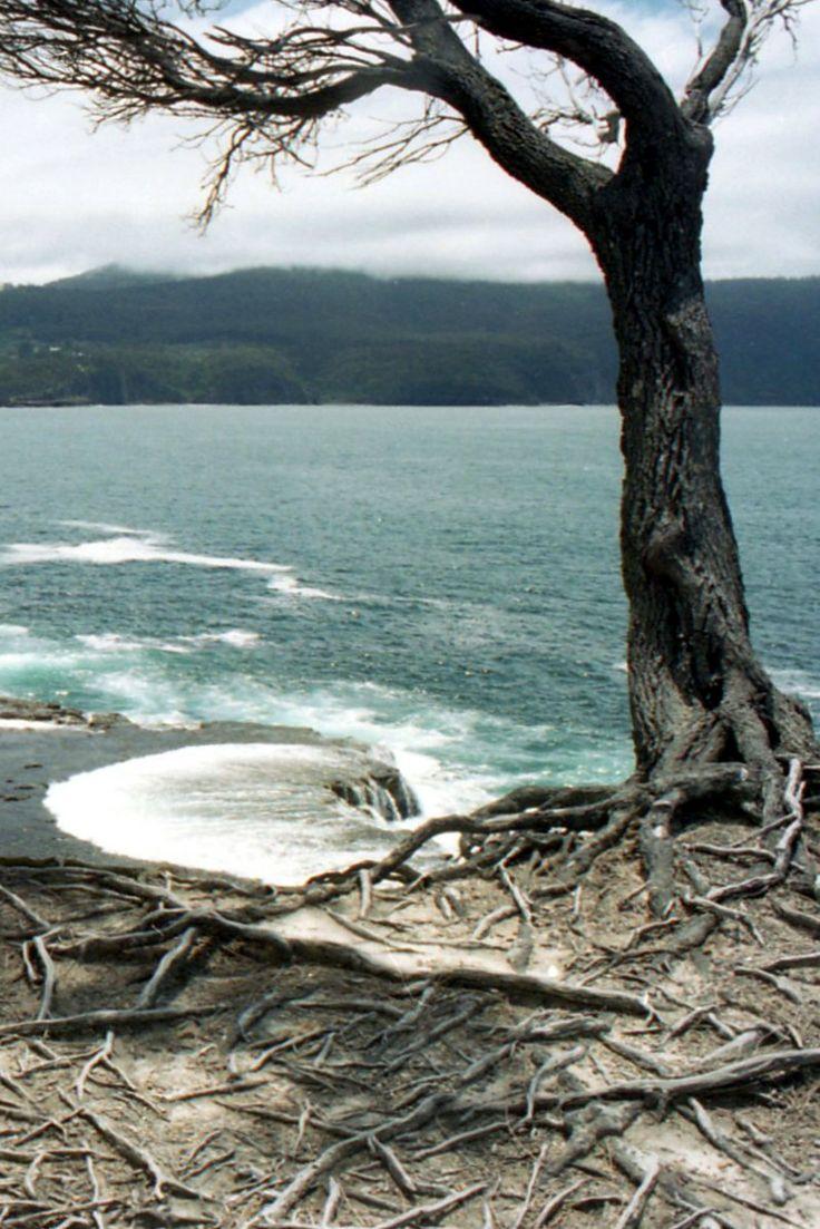 Tasmin Peninsula, coastal tree