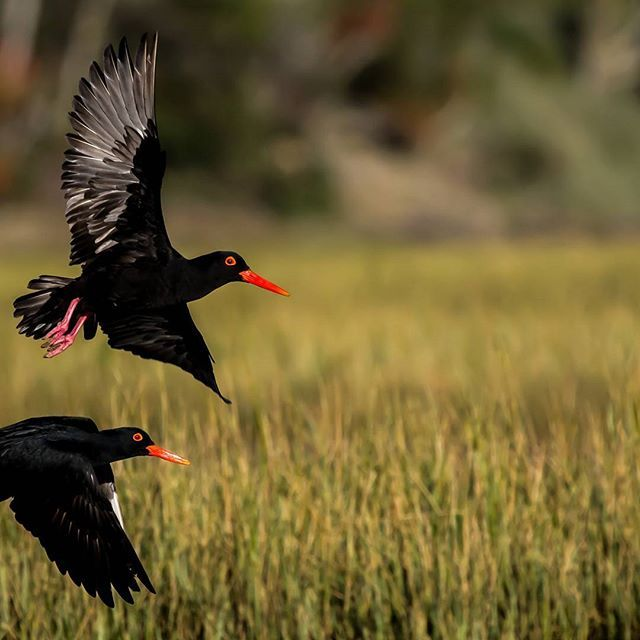 A stunning action picture - African Black Oystercatchers in flight.