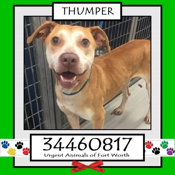 TO BE DESTROYED 04/20/17 ***REASON: MEDICAL*** THUMPER - 1 years old - Pit Bull Terrier Mix - 34460817 - Heartworm Positive - #34460817 - FOR MORE PICS, VIDEOS & INFO: http://www.dogsindanger.com/dog/1490553716018