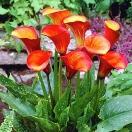Calla Lily Bulbs For Sale | Buy Flower Bulbs in Bulk & Save