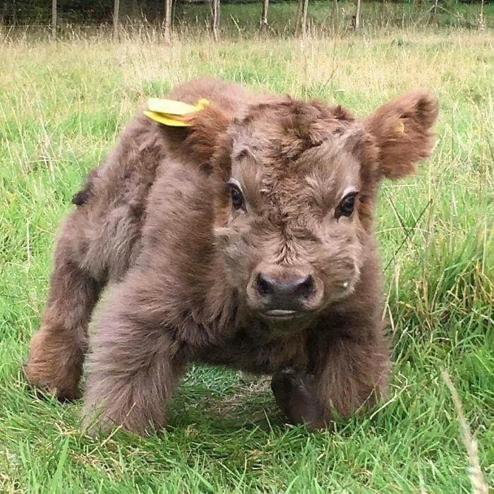 Miniature Cow Cute Baby Cow Animals