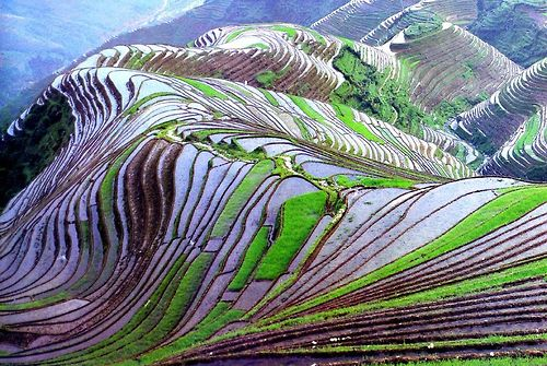 awkwardsituationist:  the remote and little known rice terraces...