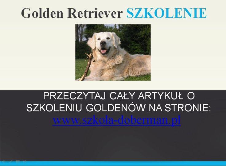 Szkolenie Goldena - Tresura psa rasy golden retriever - Jak szkolić gold...