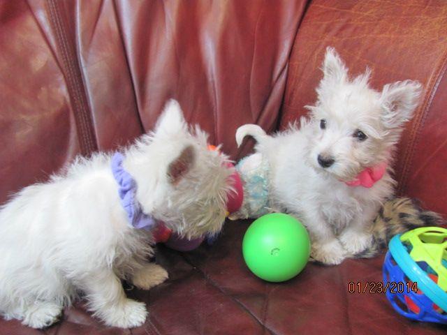 Nancy's Westies - Sage's Litter of Westie Puppies for Sale
