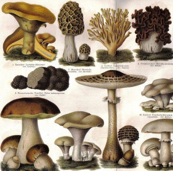 17 best ideas about mushroom identification on pinterest edible mushrooms mushroom hunting - Wild mushrooms business ideas ...