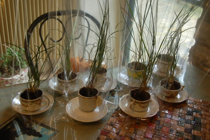 vasi-tazzine con erba cipollina