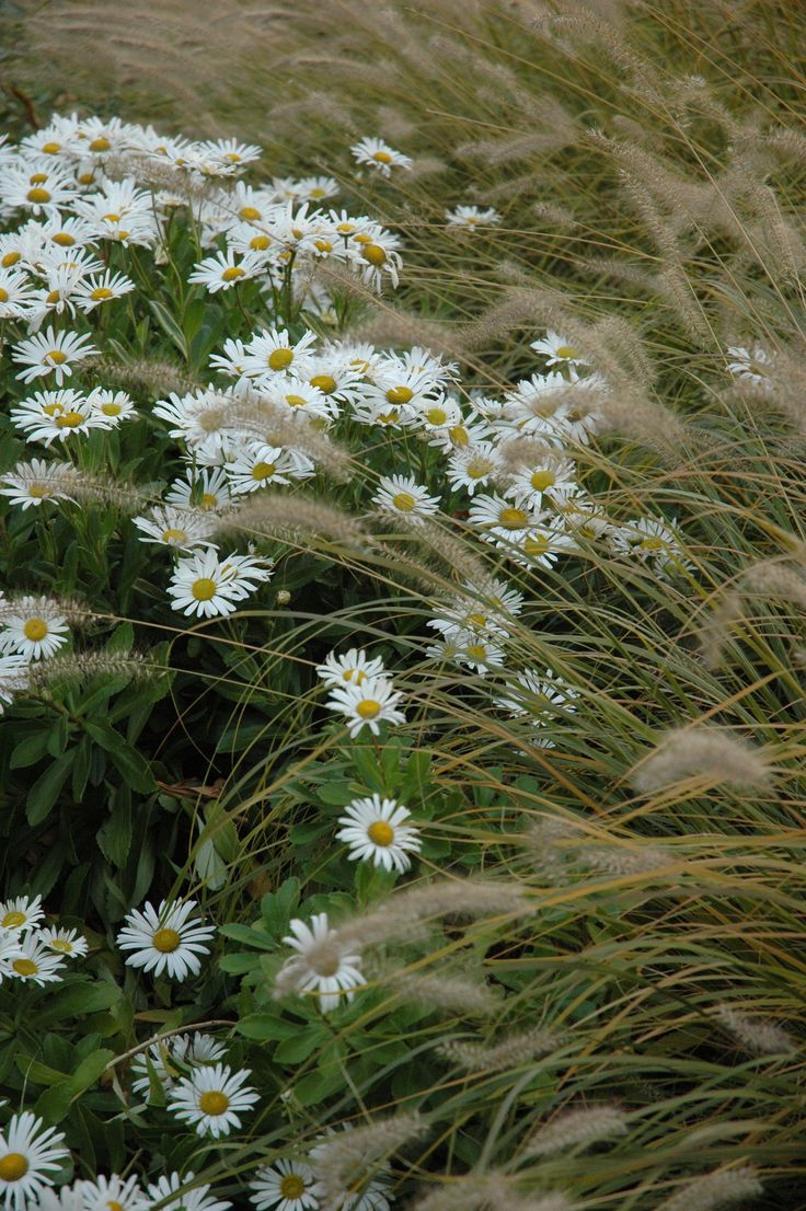 plant combination - daisies and fountain grass -