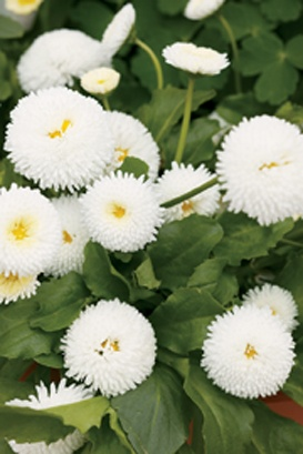1000 Images About Perennials For Montana On Pinterest