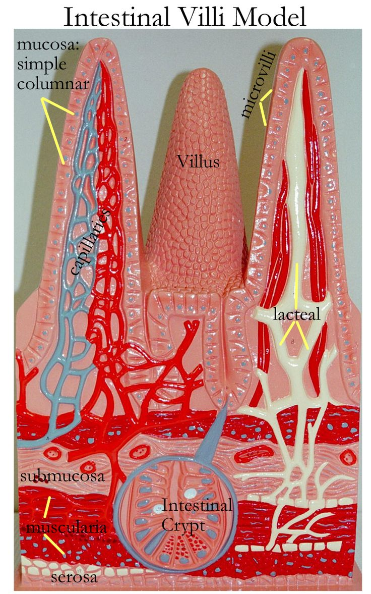 small intestine villi model labeled - Google Search
