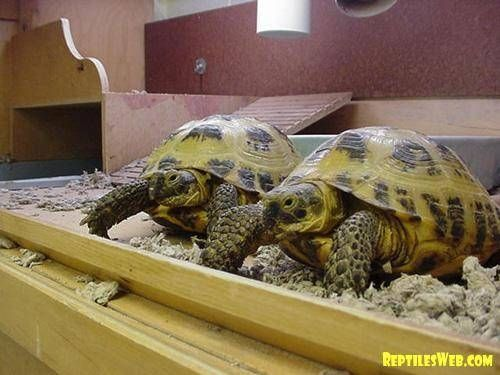 With their sociable personalities and lively natures, Russian tortoises can be a great addition to any family. Though not difficult to take care of, they do require the proper housing, environment and diet to ensure proper health. With these considerations taken care of, a Russian tortoise can live with you for up to 50 years!