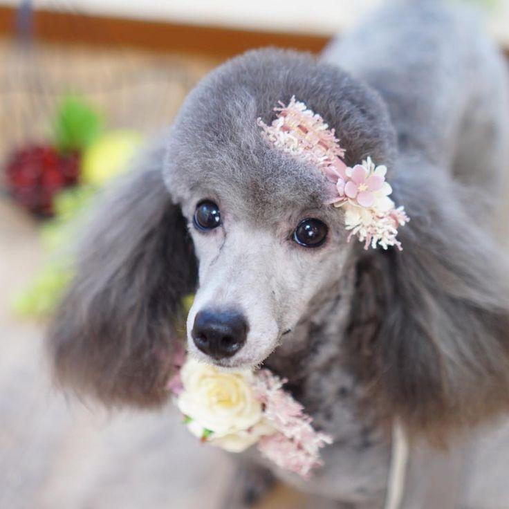 マリンちゃん  とっても美人さんで可愛い╰(*´︶`*)╯♡  #poodle#maltese#dog#dogstagram#instadog#f4f #しば#トリミング#トリミングサロン#可愛い#プードル#カット#トリミング#マルチーズ#トリマー#セット#可愛い#チワワ#ブログ#トリミングサロン#カフェ#青空#ドッグサロン#犬#愛犬#いぬ#ヨーキー#シュナウザー#ラーメン#ランチ#芝犬#犬バカ部#青空