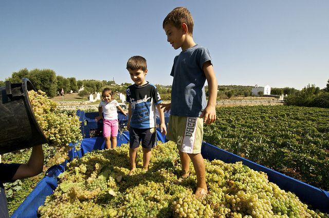 Continua la raccolta dell'uva in #Puglia e anche i più piccoli si preparano alla pigiatura. Foto by opi3ss3