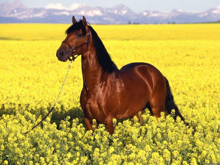 Фото с лошадью породы мустанг в поле с цветами #картинки #фото #животные #лошади #мустанг #поле #цветы