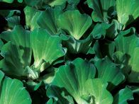 Water lettuce, Pistia stratiotes, has velvety foliage that spreads like strawberry plants across the surface of water. The bright green leaves are deeply veined and resemble heads of floating lettuce providing shade for the pond and fish.