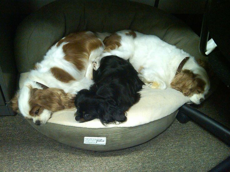 cavalier king charles spaniel the official dogs of sleep - Natures Sleep