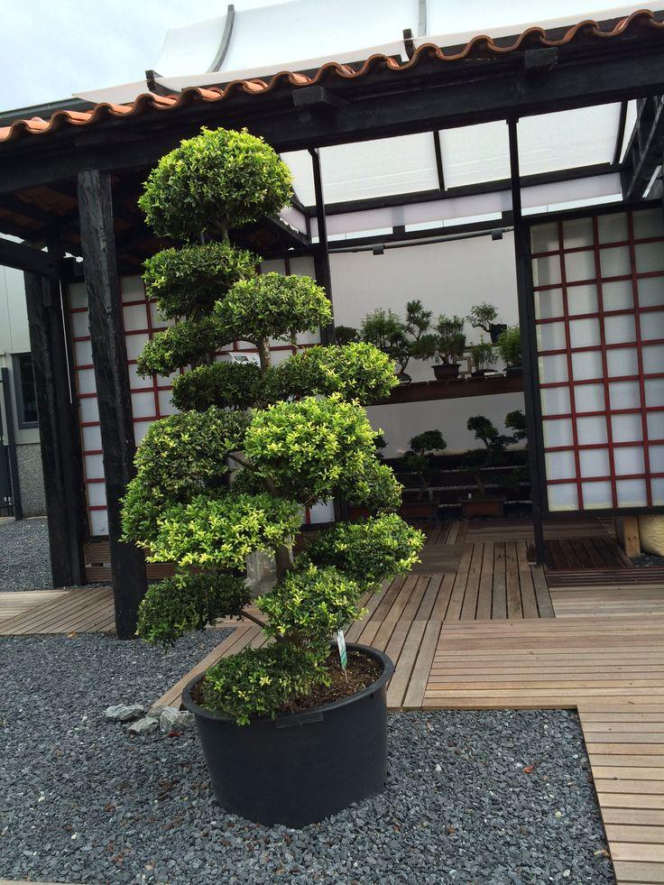 arbres nuage japonais bonsai geant juniperus virg 39 glauca 39 acheter vos arbres chez le. Black Bedroom Furniture Sets. Home Design Ideas