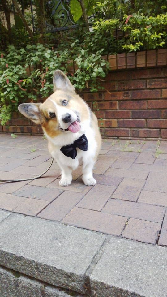 Large black velvet butterfly bow tie Dog by CorgiKuriandFriends-  <3 Oh my gosh, could die from the cuteness involved!!!