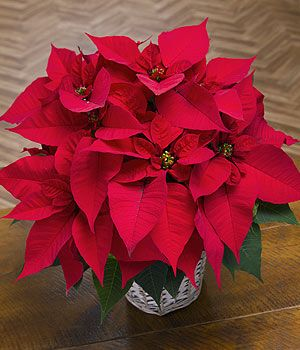 Christmas Poinsettia - A stunning deep red plant that gets me in the Christmas spirit.