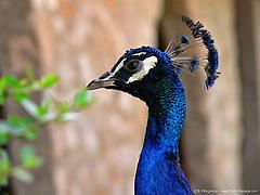 Peacock - Peacock facts, information and trivia