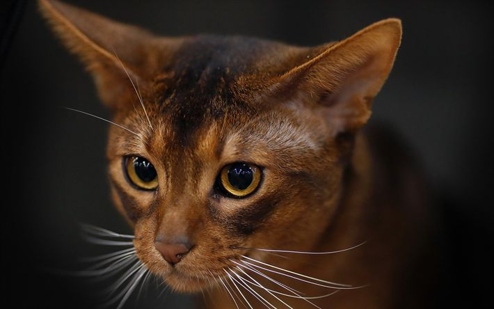 Download wallpapers Abyssinian, 4k, muzzle, cute animals, cats, Abyssinian Cat