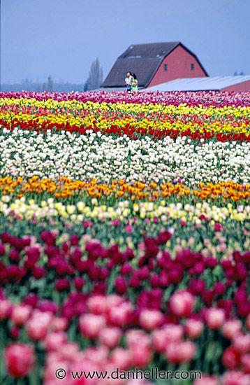 tulip festival washington