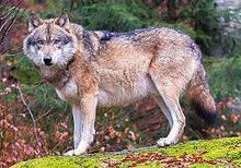 European wolf in Bavarian Forest National Park, Germany