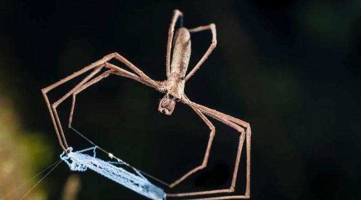 As aranhas do gênero Deinopis, também conhecidas como Aranhas-Gladiadoras, Aranhas-Lançadoras-de-Rede ou Aranhas-Cara-de-Ogro, tem uma forma peculiar de capturar suas presas.