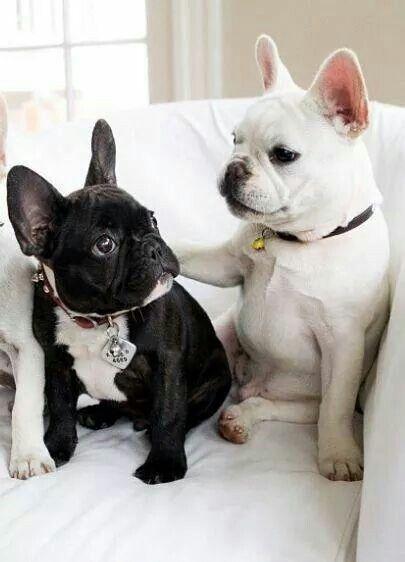 Tu es mon pôte toi... ...French Bulldog Puppies
