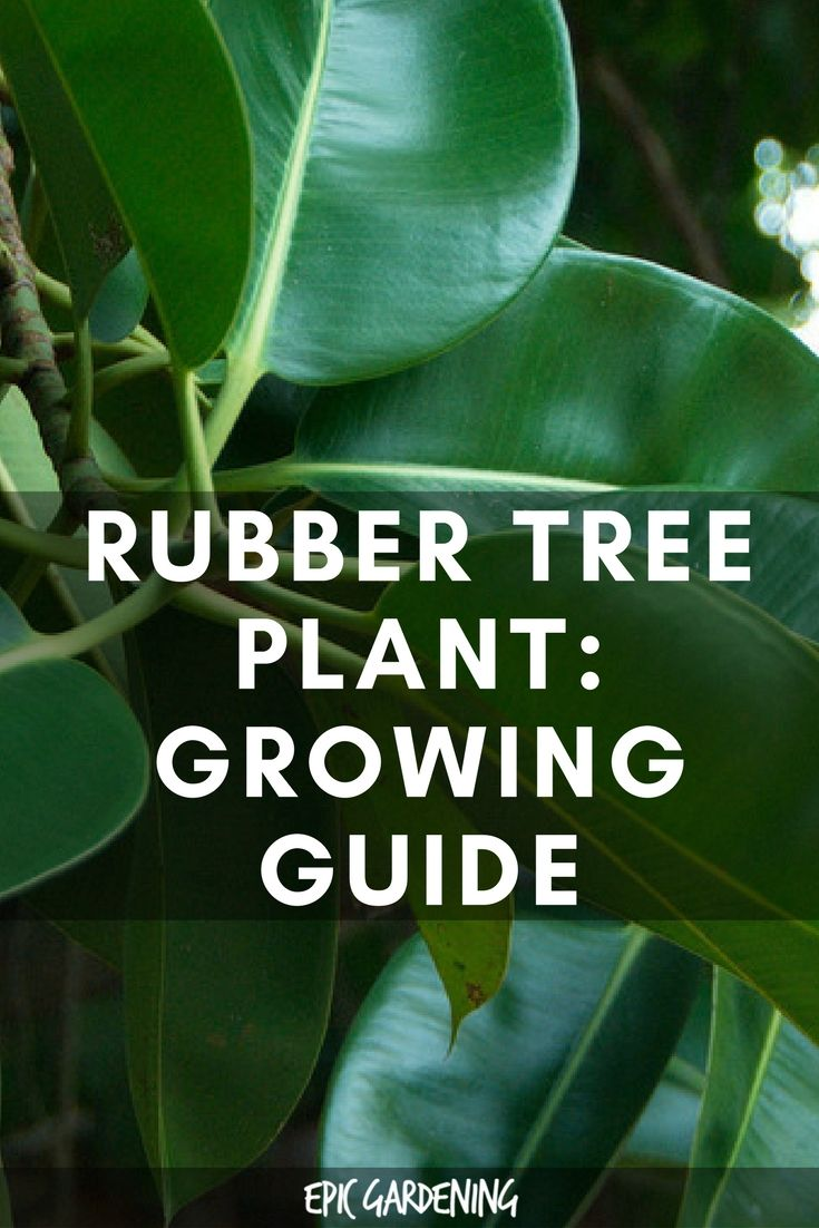 Rubber Tree Plant (Ficus Elastica) Care