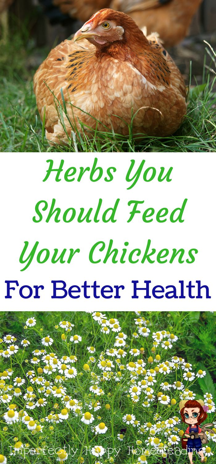 Herbs you should feed your chickens for better health. Your homestead or backyard chickens will love them!