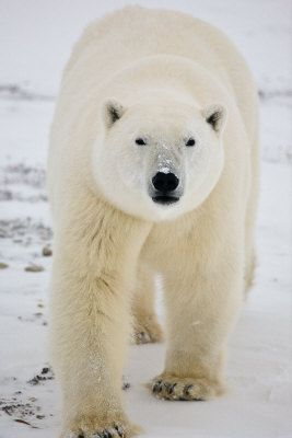 Round Face Polar Bear - Breene Yuen