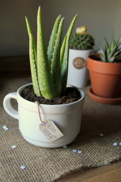 You don't need a green thumb to keep these beauties alive. And the teacup as a planter is a cute idea. | plants that won't die at your desk | office plants