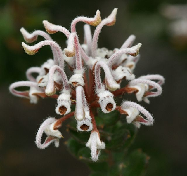 Grey-Spider-Flower (Grevillea buxifolia). Look carefully, you may see little-laughing-faces. Photographed in Sydney Harbour National Park near Manly, in the northeastern suburbs of Sydney, Australia.
