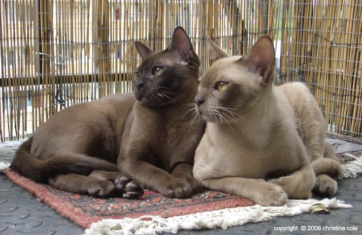 Burmese Cats   ...........brown and chocolate