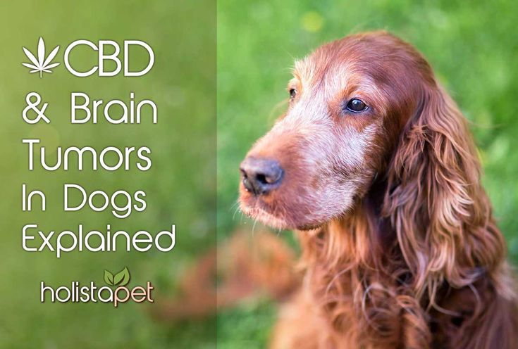Many studies exist of #CBD to be used as an #anticancer drug. See how CBD has effects on brain tumors in dogs in this new article: https://holistapet.com/cbd-brain-tumors-dogs-explained/