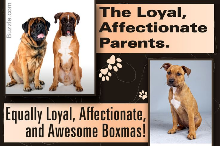 boxer-mastiff mix breed