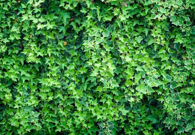 Fast-growing English ivy can easily take over your lawn and landscape. Learn how to kill the invasive plant by combining physical removal and topical treatment.