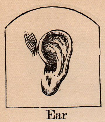 E is for Ear