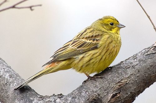1000 Images About Alabama State Bird On Pinterest