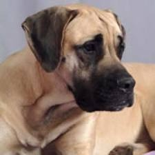 Another gorgeous American Mastiff. Want.