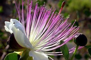 kwiaty tropikalne   Kapari Bitkisi ve Kaparinin Faydaları   SifaliBitkileriniz